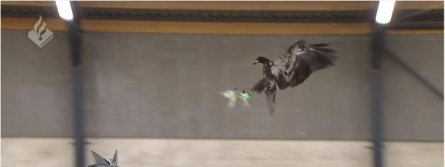 Eagles Taught To Capture Drones – Video